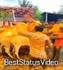 Neknoor Tuljae Nagar Bail Pola 2021 Status Video Download